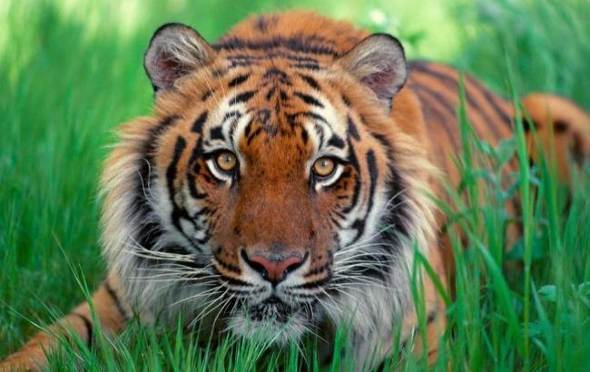 гороскоп тигр